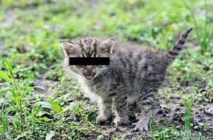 little-gray-kitten-hissing-censored